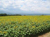 090813_himawari.jpg